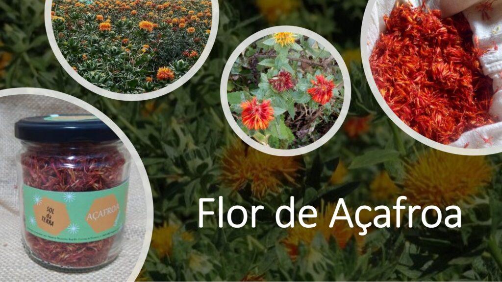 flor de Açafroa